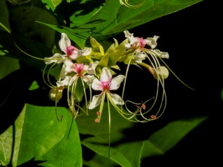 Clerodendrum trichotomum-32