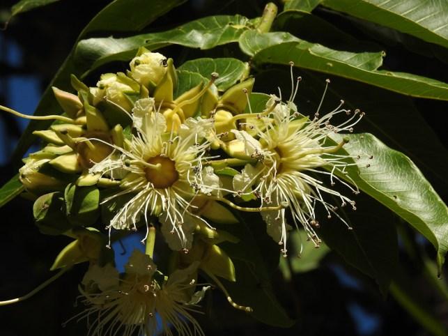 Duabanga grandiflora- 19-
