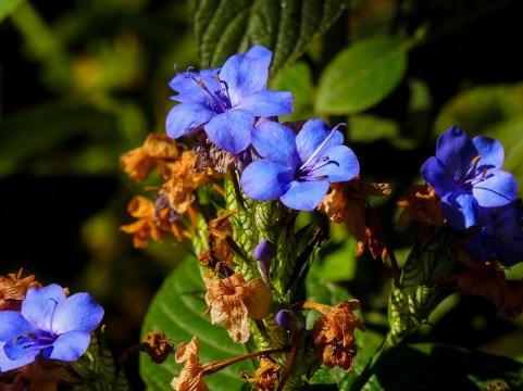Eranthemum nervosum- 41