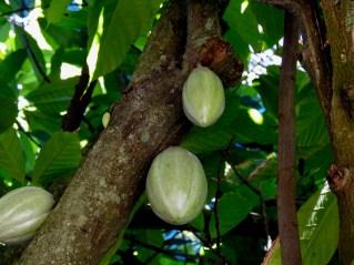 Theobroma cacao-42