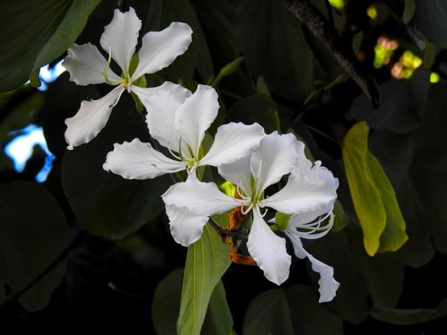 01 - Bauhinia variegata