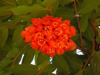 03 - Brownea grandiceps