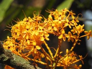 16 - Saraca thaipigensis