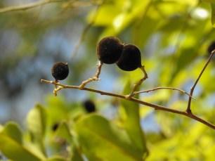 17 - Diallium guineense