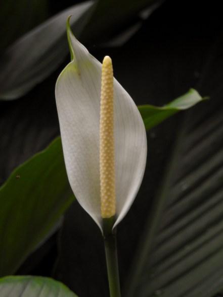 18 - Spathiphyllum cannifolium