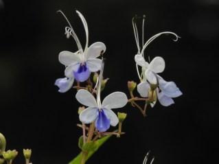 23 - Clerodendron ugandense