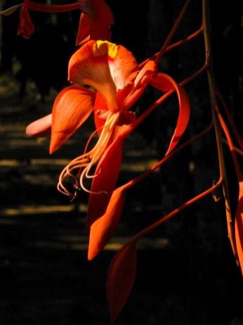 26 -Amherstia nobilis
