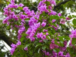 30 - Bougainvillea glabra