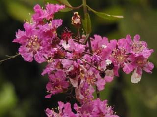 33 - Physocalymma scaberrimum