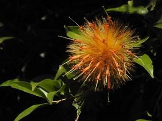 35 - Stifftia crysantha