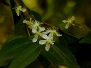 41 - Eugenia uniflora