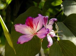 47 - Bauhinia variegata