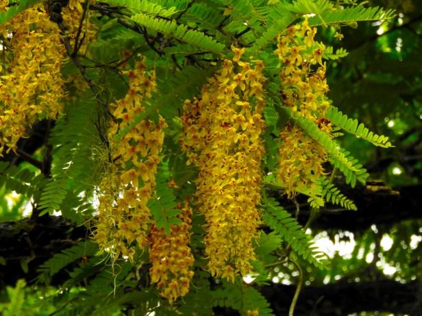 47 - Cassia ferruginea