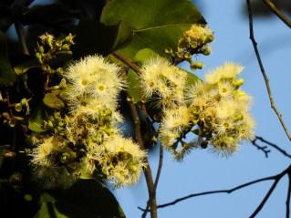 49 - Eucalyptus torelliana