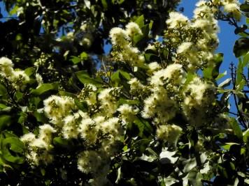 50 - Eucalyptus torelliana