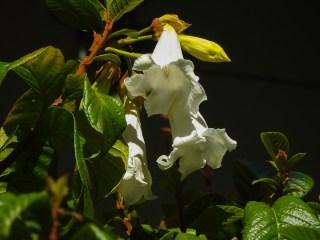 59 - Beaumontia grandiflora