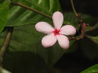 61 - Kopsia fruticosa
