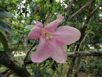 Ravenia spectabilis