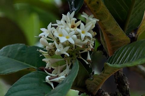Rudgea macrophylla