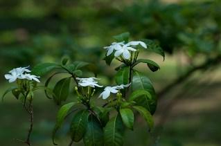 Tabermaemontana catharinensis