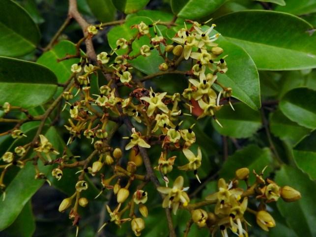 Diallium guineense