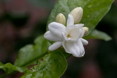 017 - Jasminum sambac