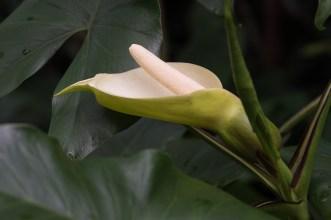 040 - Araceae