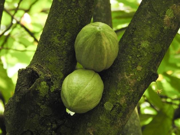 088 - Theobroma cacao
