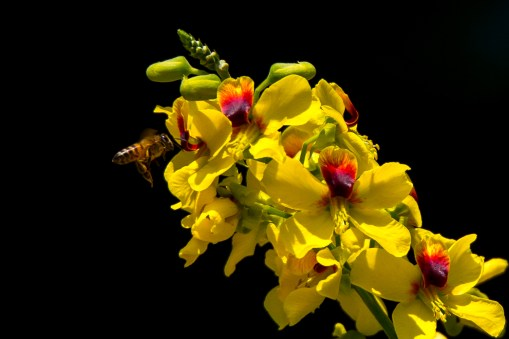 36 - Caesalpinia echinata