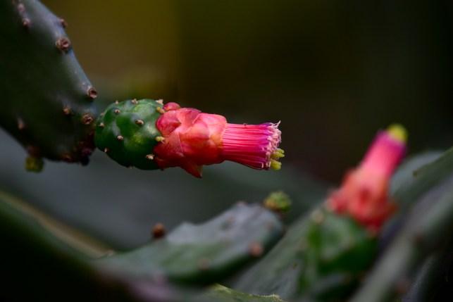 17 - Napolea cochenilliflora