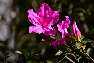 18 - Rhododendron simsii