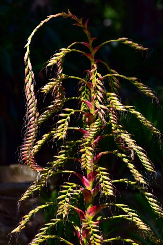 28 - Vriesia imperialiis