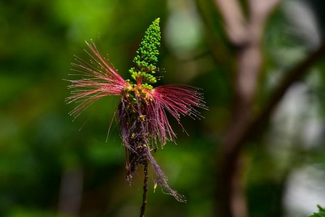 34 - Calliandra calophyrsus