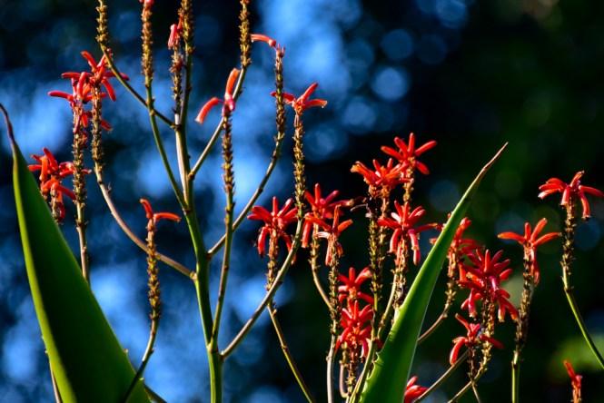 13 - Aloe arbóreo