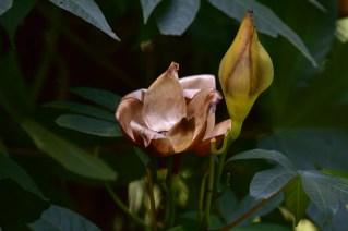26 - Merrenia tuberosa