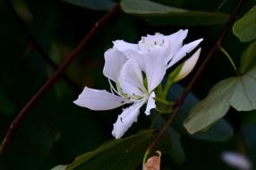 01-bauhinia-variegata