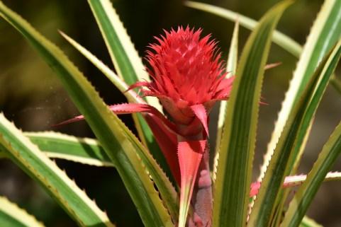 59-ananas-bracteatum
