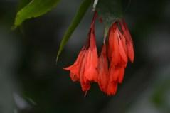 71-brownea-longipedicellata