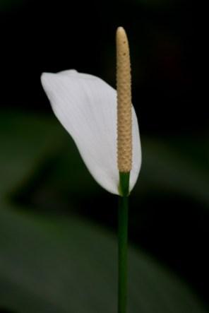 05-spathiphyllum-cannifolium