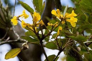 39-ipe-amarelo