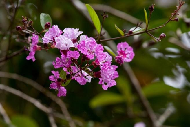 44-physocalymma-scaberrimum