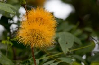 50-stifftia-crysantha