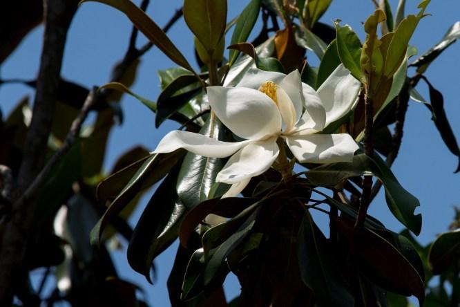 55-magnolia-grandifolia