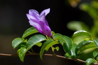 67-cryptostegia-grandifolia