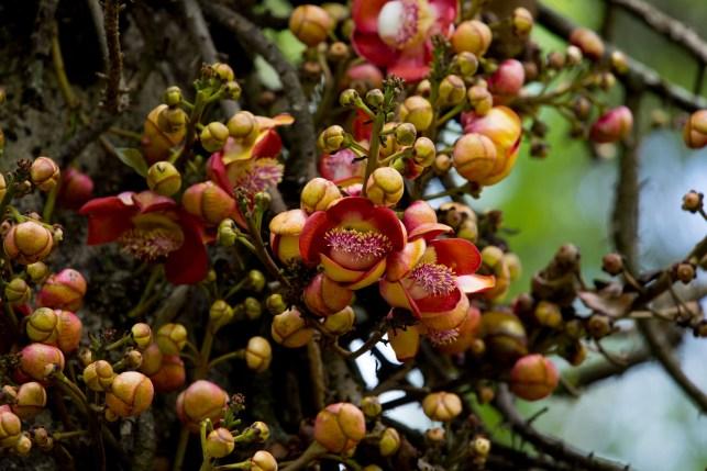 68-couroupita-guianensis-1