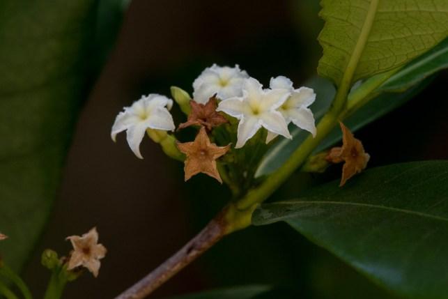 68-mascarenhasia-arborescens