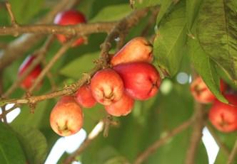 3-jambo-vermelho