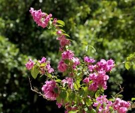 44-bougainvillea-glabra
