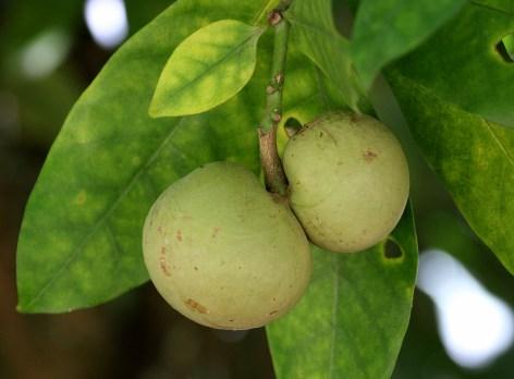 79-tabemaemontana-fruto