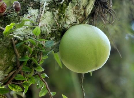 8-coite-fruto